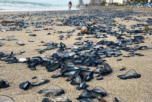 해변에 해파리 수천 마리, 자연재해의 징후?