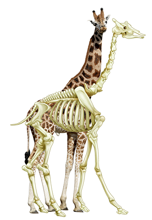 목이 긴 기린도 다른 포유류와 마찬가지로 7개의 목뼈를 가지고 있다. - GIB 제공