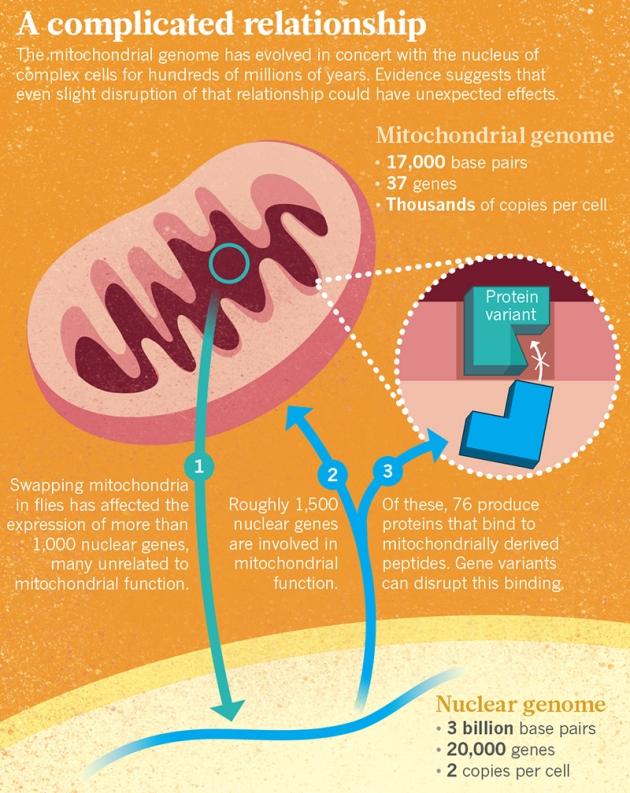 사람의 미토콘드리아 게놈은 크기가 1만7000염기쌍도 안 되고 유전자는 37개에 불과하지만 많은 핵 게놈 유전자의 발현에 영향을 준다(1). 한편 핵 게놈 유전자 1500여 개가 미토콘드리아 기능에 관여한다(2). 이 가운데 76개는 미토콘드리아 게놈 유전자가 발현한 단백질과 복합체를 이루는데, 만일 미토콘드리아 유전자에 변이가 생겨 복합체가 제대로 만들어지지 않을 경우 개체의 생존과 번식에 심각한 장애를 일으킬 수 있다(3). - 네이처 제공