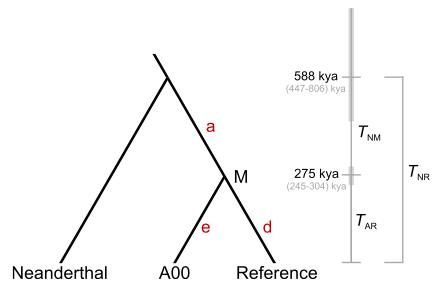 최근 네안데르탈인 Y염색체 게놈을 분석한 결과 현생인류와 약 59만 년 전 갈라진 뒤 교류가 없었다는 결과가 나왔다. 비교한 현생인류 게놈은 유럽인인 참조게놈(Reference)과 일부 아프리카인에게 발견되는 A00으로, 둘은 현생인류 등장 초기인 약 28만 년 전 갈라졌다. - 미국인간유전학저널 제공