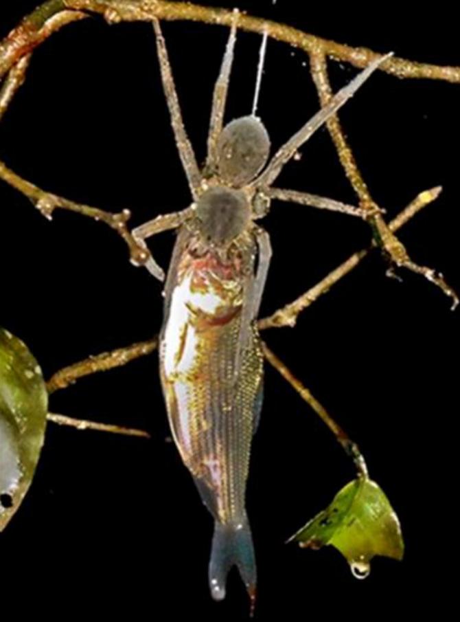 페루 타후아요 강 인근에서 발견된 물고기 먹는 거미 - Alfredo Dosantos Santillan(플로스원) 제공