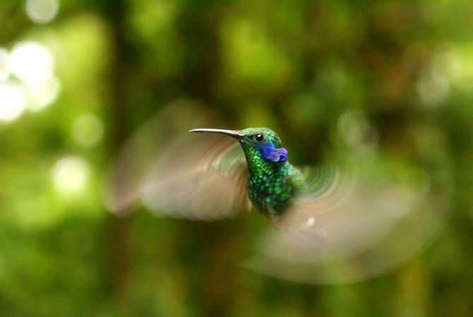 초록자주귀벌새(green violet-ear hummingbird, 학명 Colibri thalassinus), 연구진이 클라우드 커버 사진을 통해 코스타리카 몬테베르데 운무림(雲霧林)에서 발견 - 애덤 윌슨 제공