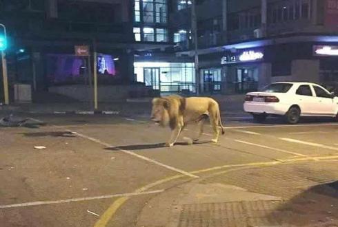 어두운 도시, 사냥에 나선 사자 '포착'