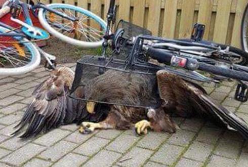 자전거 바구니에 갇힌 독수리 '난감'