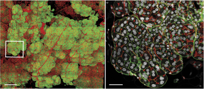 수유기 생쥐의 젖샘조직의 3차원 공초점 현미경 사진(왼쪽). 오른쪽은 왼쪽 작은 네모 안을 확대한 단면 사진으로 세포핵(흰색)이 두 개인 세포들이 뚜렷이 보인다. - 네이처 커뮤니케이션스 제공