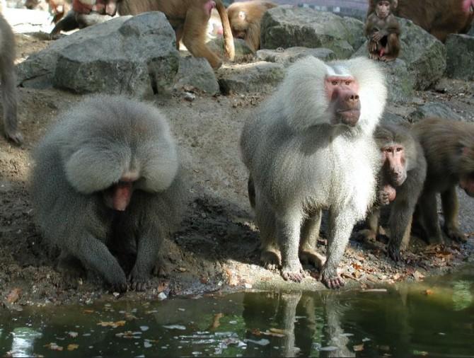 개코원숭이 - Antoon Kuper(F) 제공