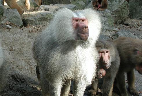 돼지 심장 품은 원숭이, 2년 생존 기록