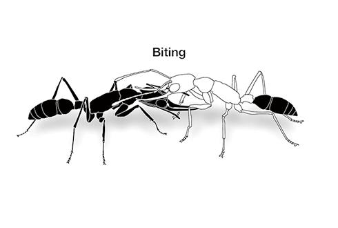 개미가 '군기' 잡는 방법