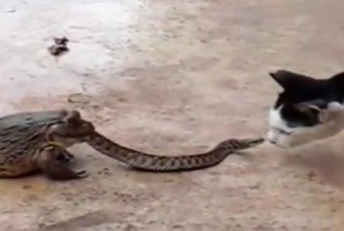 두꺼비에게 먹히는 뱀, 고양이와 싸워