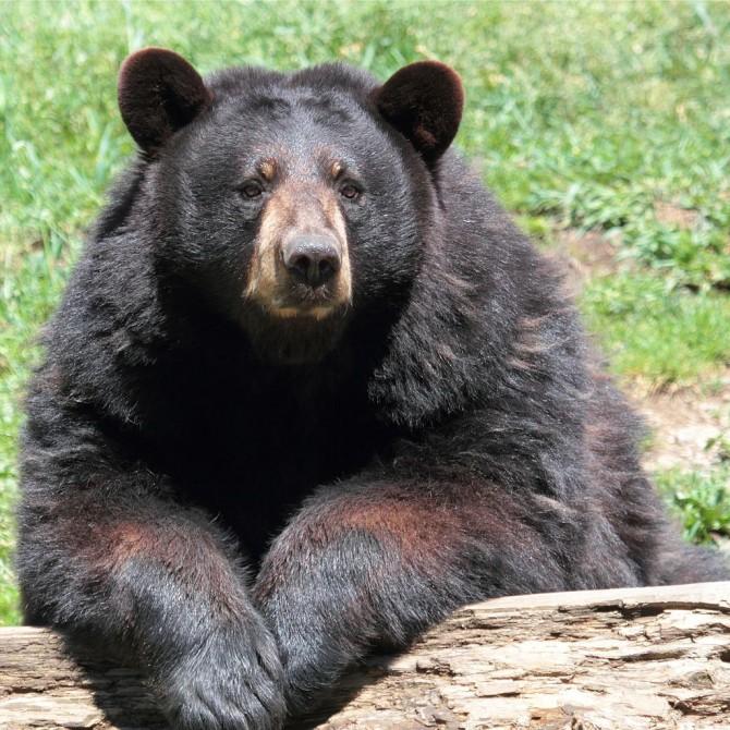 아메키칸 흑곰 - Cephas(W) 제공