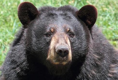 숫자 세는 동물이 대세? 똑똑한 흑곰