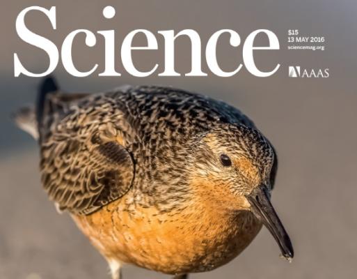 북극 철새 '붉은가슴도요새'의 비극