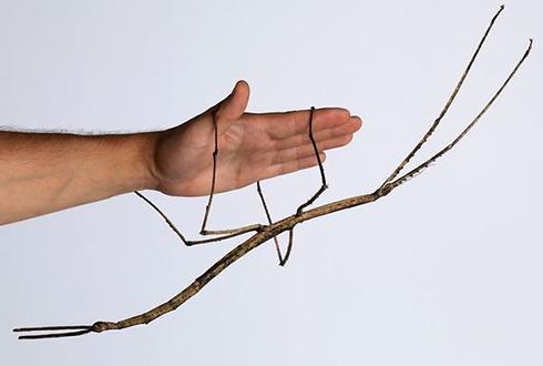 세상에서 가장 긴 곤충 발견!