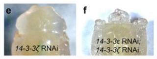14-3-3 단백질 발현이 모두 억제되면 초파리의 두뇌가 정상(e)일 때처럼 성장하지 못한다(오른쪽). - KAIST 제공