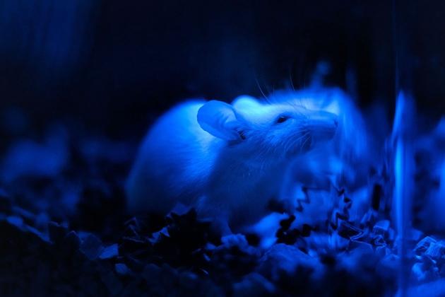 광유전학 실험 중인 쥐. 청색광에 광활성을 지닌 '클라미도모나스'라는 단세포 녹조류의 DNA를 주입하고, 청색광을 쪼이면 앞을 볼 수 없던 쥐가 청색 빛을 볼 수 있게 된다. - 네이처 제공