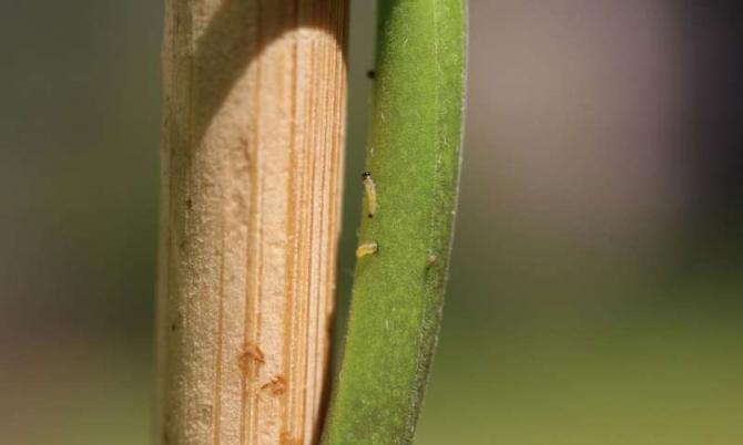 솔라눔 둘카마라의 줄기를 기어오르고 있는 벼룩잎벌레의 애벌레들 - Tobias Lortzing 제공