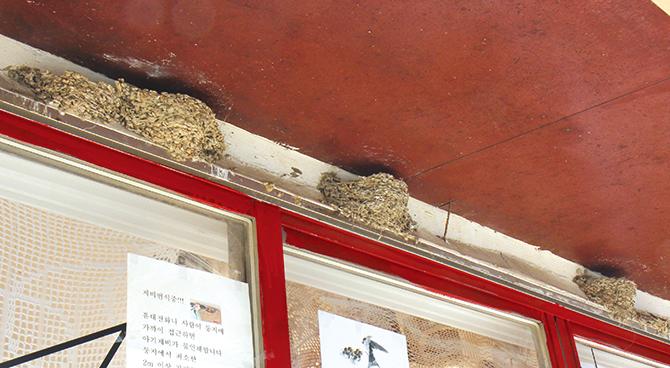 교동 대룡시장은 제비 박물관이라 불러도 좋을 만큼 여러 제비의 둥지들이 모여 있다. - 어린이과학동아, 김원섭, 오가희 제공