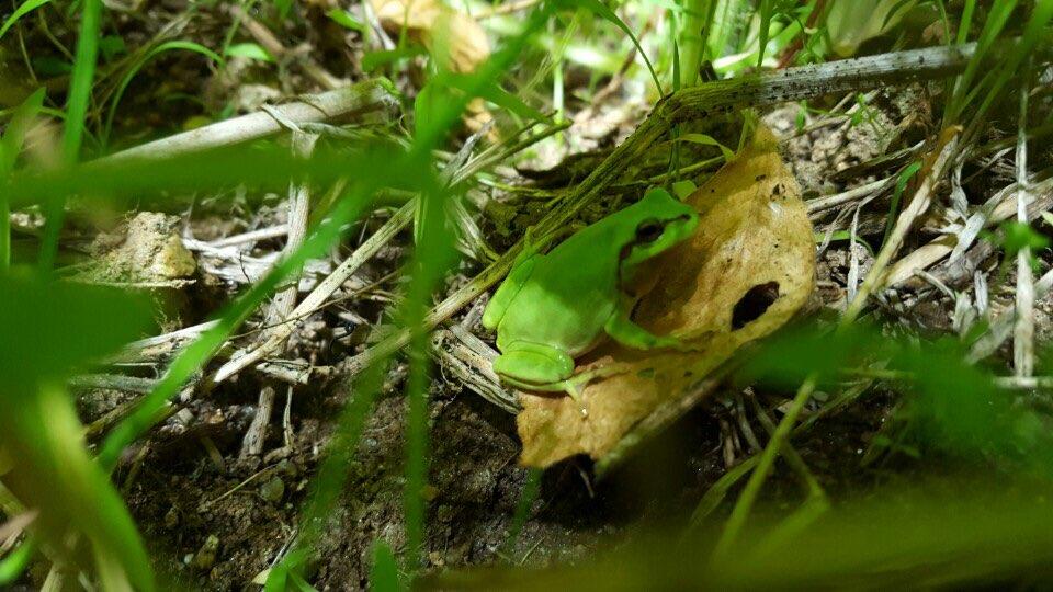 최근 경기 수원시 일월저수지에서 수원청개구리가 발견되며 인공서식지 복원이 성공하였음을 확인할 수 있었다. - 장이권 교수 제공