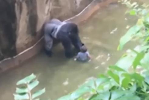 아기 끌고 다닌 동물원 고릴라, 사살돼