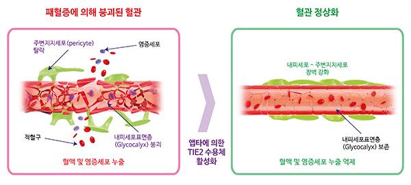 IBS 혈관 연구단이 개발한 신개념의 실험적 항체