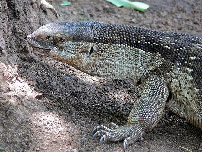 대형 도마뱀류 바위왕도마뱀. 아프리카대륙에 사는 도마뱀 중 가장 무겁다(최대 17kg). 강력한 다리를 이용해 나무를 올라가 새의 둥지를 털거나 땅을 파서 매몰된 다른 파충류의 둥지를 털기도 한다. 입천장에는 발달된 후각기관이 있는데, 뱀처럼 끝이 갈라진 혀를 이용해 공기 중의 화학 물질을 묻혀서 이 기관으로 전달한다. - Bernard DUPONT 제공
