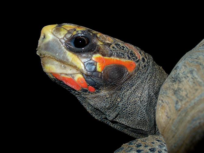 남아메리카대륙에서만 서식하는 붉은발육지거북. 잡식성인 이들은 반려동물로 인기가 많으며, 실험용으로도 많이 이용된다. 2012년 '모세(Moses)'라는 애칭의 젊은 암컷이 쥐보다 정확하게 미로를 해결해서 화제가 된 적도 있다. - ⓒ H. Zell 제공