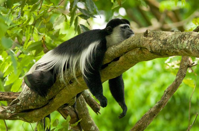 초록 잎을 주식으로 하는 콜로부스 원숭이는 한꺼번에 잔뜩 먹은 뒤 대부분의 시간을 누워서 소화하는 데 보낸다. - Antony(W) 제공