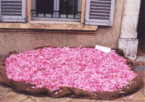 필자는 2001년 5월 프랑스 그라스를 방문했다. 당시 장미축제 기간이라 시내 곳곳이 장미로 장식됐다. 향료박물관 앞마당에는 향료용 장미의 꽃잎이 잔뜩 쌓여있어 주위를 달콤한 향기로 가득 채웠다. - 강석기 제공