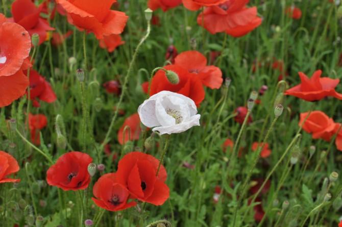요즘 과천 서울대공원 가는 길에 있는 개양귀비밭은 꽃이 만발했다. 붉은 양귀비꽃 사이에 드문드문 변이체로 보이는 흰 양귀비꽃이 보인다. - 강석기 제공