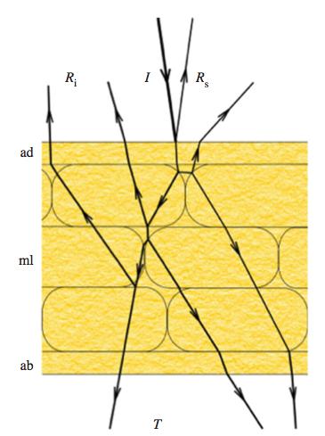 꽃잎의 색은 빛의 흡수와 반사, 투과의 효과가 종합된 결과다. 그림은 꽃잎의 앞면(adaxial side. 꽃을 오므렸을 때 안쪽)에 빛이 들어왔을 때(I) 경로를 보여준다. 꽃잎을 이루는 세포의 구조에 따라 반사(R)와 투과(T)가 일어난다. - 영국왕립학회보 B 제공