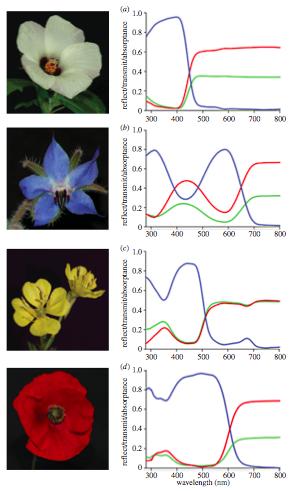 파장에 따른 빛의 투과도(빨간색 곡선)와 반사도(녹색), 흡수도(파란색)을 나타낸 그래프다. 위로부터 수박꽃, 보리지, 달맞이꽃, 개양귀비다. 개양귀비꽃잎의 선명한 붉은색은 가시광선의 짧은 파장과 중간 파장 대부분을 흡수하기 때문이다. - 영국왕립학회보 B 제공