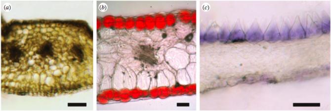 꽃잎의 단면 사진을 찍어보면 색소 분포가 세 가지 패턴 가운데 하나를 보인다. 즉 전체적으로 퍼져 있거나(왼쪽 달맞이꽃) 양쪽 표면세포에만 존재하거나(가운데 울타리콩) 앞면에만 존재한다(오른쪽 안데스물망초). 색소를 만드는데는 자원이 들어가기 때문에 식물의 입장에서 최선인 배열이 선택된다. - 영국왕립학회보 B 제공