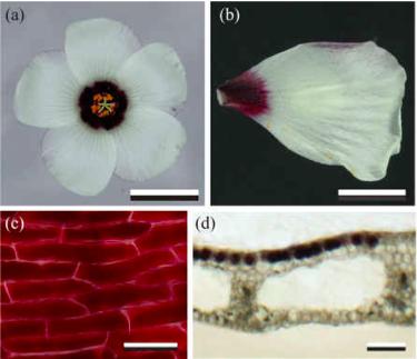 무궁화 같은 다른 히비스커스속처럼 수박꽃 역시 꽃잎 대부분은 흰색이고 암술과 수술을 둘러싼 부분만 짙은 자주색이다. 꽃잎의 단면을 보면 이 부분의 앞면 표층세포에 색소가 집중적으로 분포해 있다. - 영국왕립학회보 B 제공