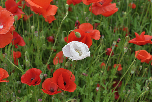 양귀비꽃, 그 붉은 아름다움의 비밀