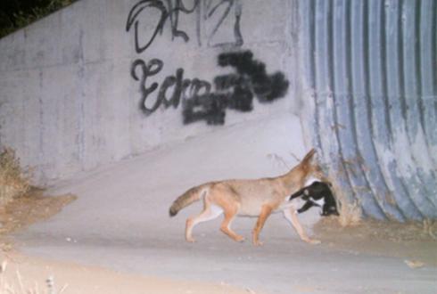고양이를 사냥한 코요테 '포착'