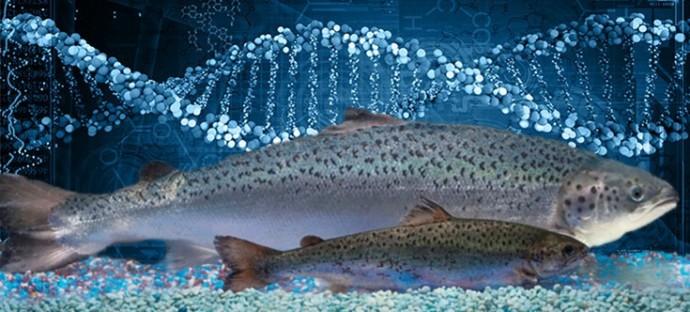 미국의 아쿠아바운티사가 개발한 GM연어(뒤)와 일반 연어. 3개월이 걸리는 성장 기간을 16~18개월로 단축했다. - 아쿠아바운티 제공