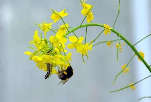 유채꽃에서 수분중인 꿀벌과 해를 끼치려는 애벌레 - UZH 제공