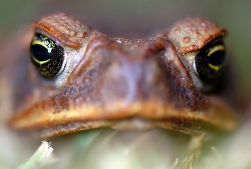 뒤뚱뒤뚱 두꺼비, 사실은 평형감각의 달인?