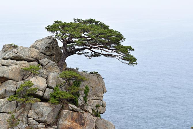 200년이 넘는 세월동안 바닷바람을 꿋꿋이 견뎌낸 소나무는 이곳을 찾는 이들의 마음에 깊이 새겨진다. - 고종환 제공