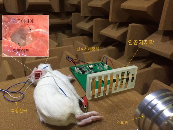 DGIST 연구진이 차세대 인공와우 기술을 동물실험을 통해 확인하고 있다 - 대구경북과학기술원 제공