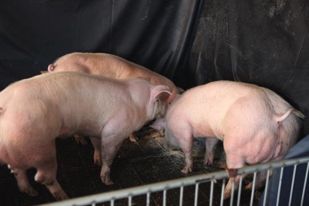 김진수 기초과학연구원(IBS) 유전체교정연구단장이 이끈 연구진은 유전자가위로 근육 성장을 억제하는 유전자의 작동을 막아 일반 돼지보다 근육량이 훨씬 많은 '슈퍼근육 돼지'를 개발했다. - 윤희준 교수 제공