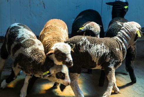 카푸치노 양, 삼겹살 2배 돼지…유전자 가위가 만든 신(新) 동물열전