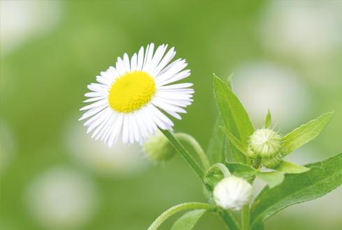 지구사랑탐사대 현장취재➋ 개망초의 편지 귀화식물을 부탁해!