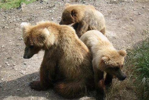 엄마 곰이 사람 사는 곳까지 내려온 슬픈 이유