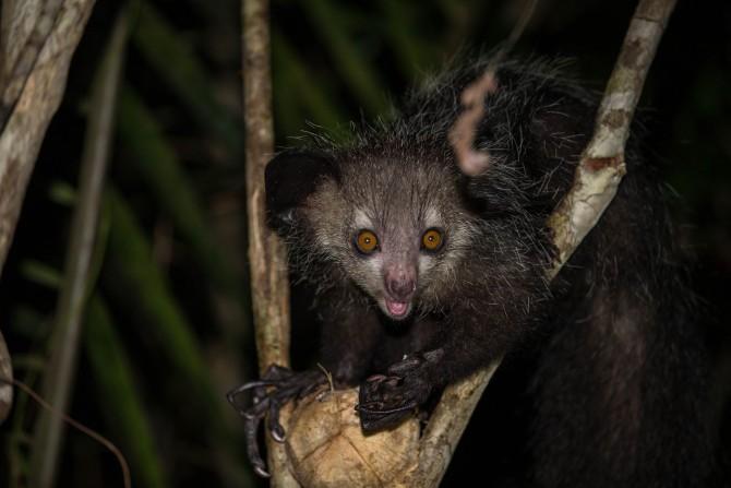 아이아이의 실제 모습. 깜깜한 숲속에서 만나면 무서울 법하다. - nomis-simon(W) 제공