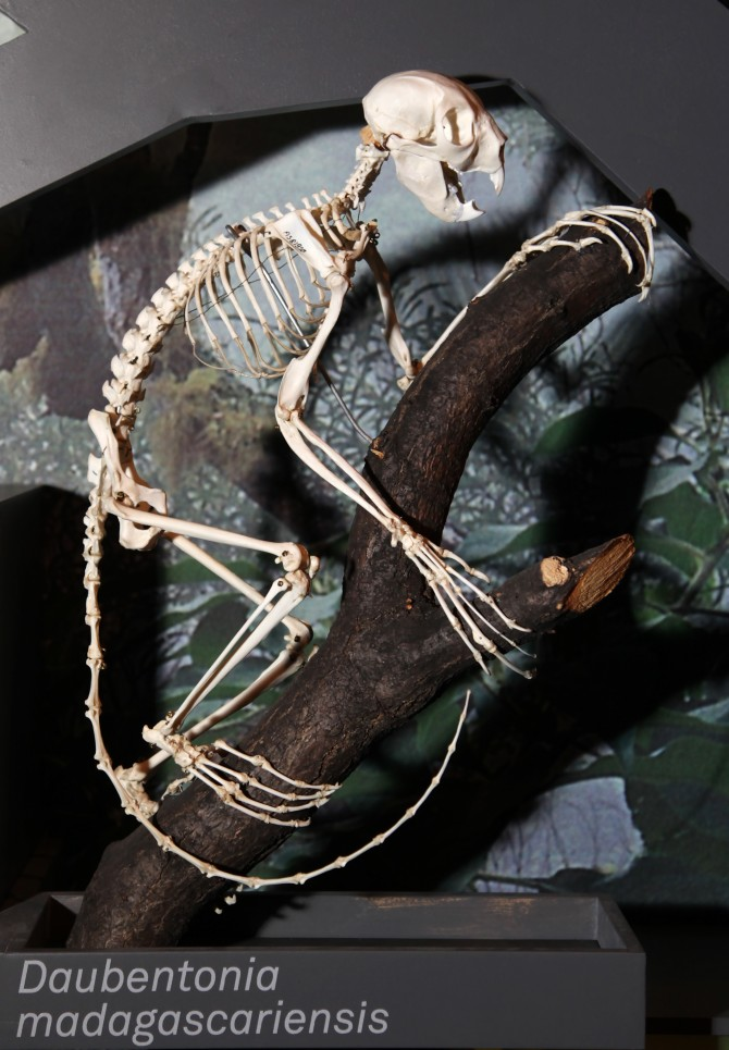스웨덴 자연사박물관에 전시돼 있는 아이아이의 골격. 길다란 손가락과 꼬리가 인상적이다. - Dr. Mirko Junge(W) 제공