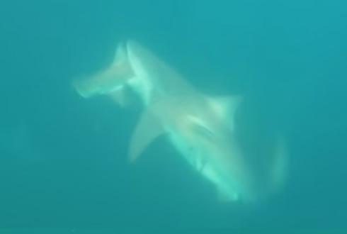 상어가 상어 물어뜯는 장면 '포착'