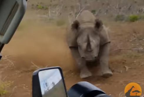 분노한 코뿔소, 차를 공격해 '공포'