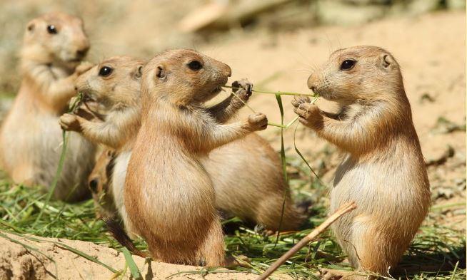북미 지역 평원에 서식하는 개쥐 가족의 모습 - worldwildlife.org 제공