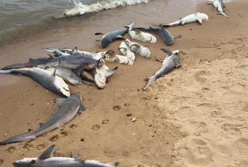 상어 100여 마리 해변에 밀려와, 미스터리